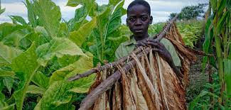US suspends tobacco imports from Malawi over forced child labor allegations